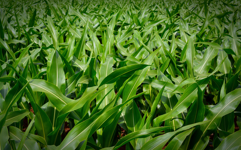 A kukorica növényvédelme
